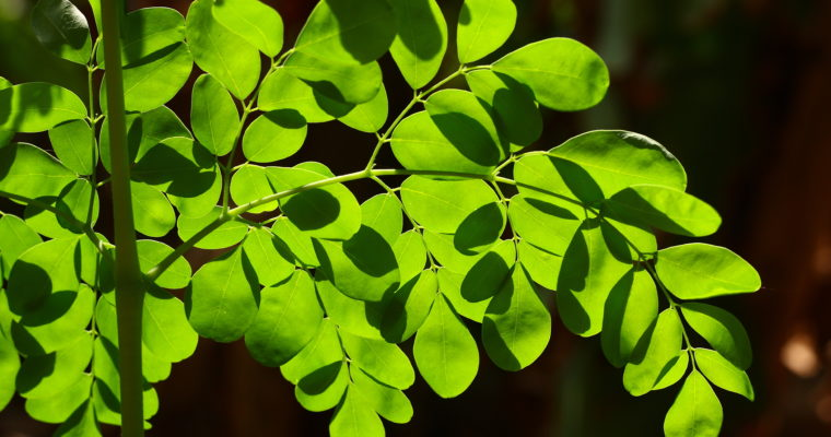 Moringa Health Benefits: A Nutrient-rich Plant!